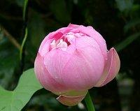 中国蓮 粉松球