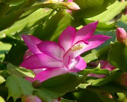 シャコバサボテン エバ 開花