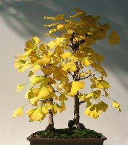 イチョウ 黄葉 2