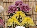 京都 二条城 菊花展