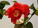 濃紅地白斑、ラッパ咲、中輪、筒しべ