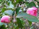 梅宮大社の椿 品種名不明 10