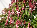 紅花アセビ