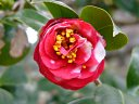 紅、八重の松笠状花、小輪