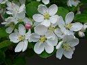 ヒメリンゴ 花