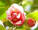 紅色 白斑 牡丹咲き 中輪