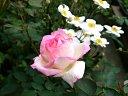 バラと秋明菊