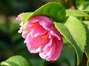 Fragrant Pink