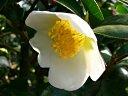 白色 一重 平開咲き ユキ芯 中輪