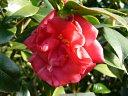 紅色 宝珠〜八重咲き 散り性 中輪