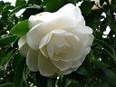 白色 八重〜千重咲き 肉厚 中輪