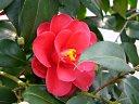 紅色 八重 蓮華咲き 中輪