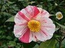 白〜極淡桃色地 桃紅色縦絞り、小絞り 一重 ラッパ咲き 筒しべ 小輪