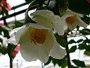 白色 一重 筒〜ラッパ咲き 筒しべ 中輪