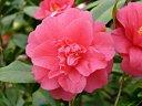 濃紅色 牡丹〜獅子〜二段咲き 内弁は雄しべと混在 中輪