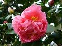 桃色 盛り上がった牡丹〜獅子咲き 大輪