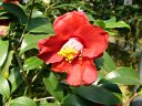 濃紅色 八重〜牡丹咲き 割りしべ 中輪
