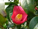 赤錦魚葉椿