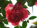 紅色 白斑入り 一重 唐子咲き 中輪