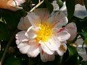 淡桃色地 紅小絞り 八重 蓮華咲き ユキ芯 中輪