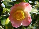 桃色地 底白ぼかし 一重 太く短い筒しべ〜輪芯 椀咲き 中輪