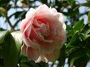 淡桃色地 紅色大小絞 白覆輪 八重 牡丹咲き 大輪