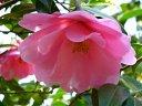 桃色地 白斑入り 八重 蓮華咲き 筒しべ 中〜大輪