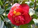 濃桃色 牡丹咲き 大輪