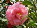 桃紅色地 白斑入り 八重〜牡丹咲き 筒〜散りしべ 大輪
