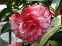 桃紅色地 白斑入り 八重咲き 中〜大輪