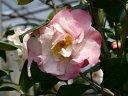 淡桃色地 桃色ぼかし 八重咲き 中輪