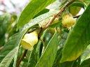 Den. griffithianum