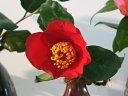 濃紅色地 白斑入り 一重 平開咲き 輪芯 中輪