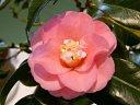 濃桃色 内弁に白筋 八重咲き 割しべ 大輪