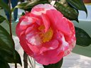 濃紅色地 白斑入り 八重咲き 割りしべ 大輪