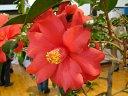 濃紅色 八重 蓮華咲き 筒しべ 大輪 肉厚 アメリカ