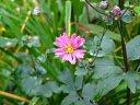 チャボ秋明菊