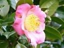 淡桃色 一重 平開咲き 小さい梅芯 中輪