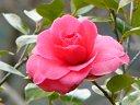 ピンク 千重咲き 中輪