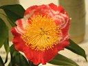 紅色地に白斑 一重 平開咲き 梅芯 中輪