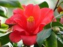 濃紅色 八重 蓮華咲き 筒しべ 大輪 肉厚