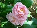 桃色 僅かに紅縦絞り 八重 牡丹〜獅子咲き 中〜大輪