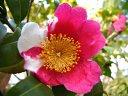 濃紅色地 白斑入り 八重咲き 梅芯ときに旗弁が混じる 中輪