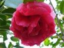 紅色 八重 牡丹咲き 大輪