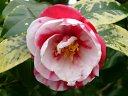 紅色地 白斑入り 八重 はじめ宝珠咲き のちに散りしべが出る 小〜中輪