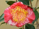 紅色地 白斑入り 一重 平開咲き 梅芯 中輪