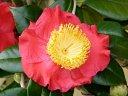 朱紅色 一重 平開咲き 花糸黄白色 梅芯 大輪