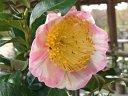 白地 桃色覆輪 一重 平開咲き 花糸黄白色 梅芯 大輪