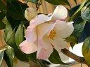 白地 紅色縦絞り 八重 長いラッパ咲き 中輪