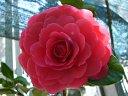 深いスカレーット、大輪、厚い千重咲き〜二重バラ咲き